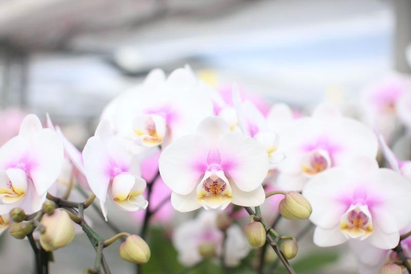 ミディ系胡蝶蘭