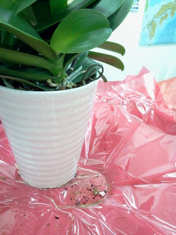 胡蝶蘭のラッピングの内側の状態