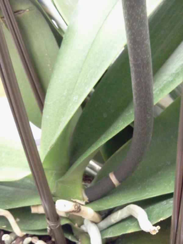 勢いを感じる胡蝶蘭の根元