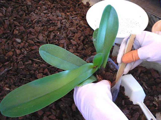 ポリポットで管理するプレサブ栽培の胡蝶蘭